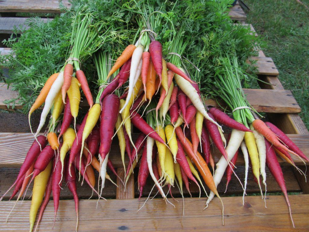 kolorowe-marchewki